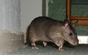 Pouched Rat exploring