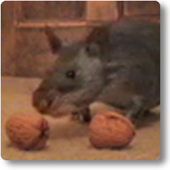 Pouched Rat with two wallnuts