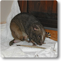 Pouched Rat scratching