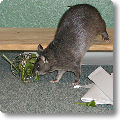 Pouched rat eating spinach