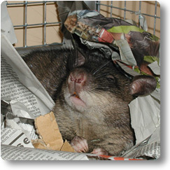 Pouched Rat waking up