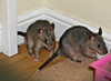 A pair of Pouched Rats