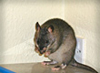Pouched Rat washing